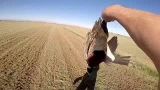 Pheasant hunting in imperial county nov 18th 2016