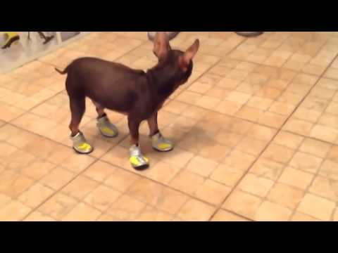 Собака учится ходить в обуви прикол город курск 2014. день молоджи 2013 гор