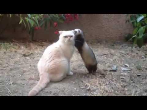Furet vs chat ferret vs cat