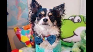 A Chihuahua Birthday