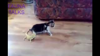 [DUBBED] Kitty and lizard funny encounter FUNNY ANIMALS