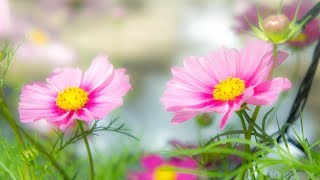 Morning Relaxing Music - Springtime Music, Study Music, Stress Relief (Ruby)