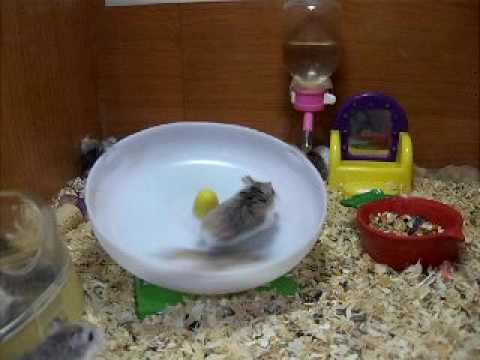 Crazy Hamsters Wheel Crazy Hamsters Playing