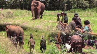 Massive wild elephant captured form Polonnaruwa !