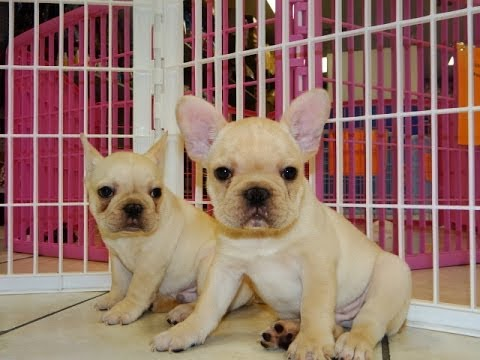 French Bulldog, Frenchie, Puppies, Dogs, For Sale, In Charlotte, North Carolina, NC, Greensboro