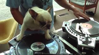 Les presento al Bulldog Francés que es DJ