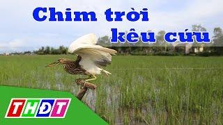 Chim trời kêu cứu | THDT