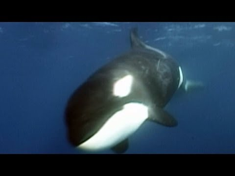 Killer Sharks vs. Killer Whales