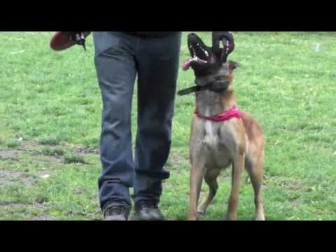 Orlando Florida Fully Trained Protection Dog With Attention Dog Training video