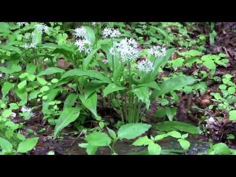 Bärlauch Im Vergleich Zu Giftigen Pflanzen