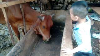 Con bò - bé vặt cỏ cho con bò ăn - giải trí nhỏ - Cow in vietnam