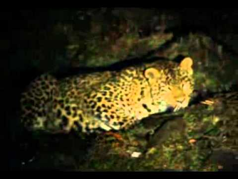 Leopards in Ajk.3gp