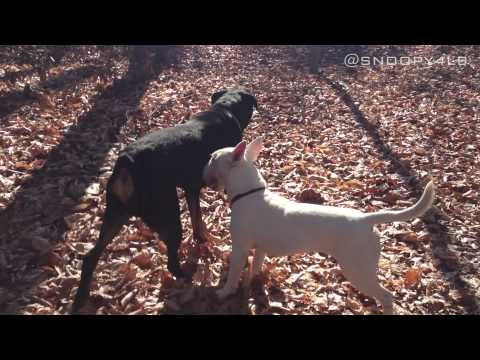 Rottweiler Vs. Bull Terrier Part 2