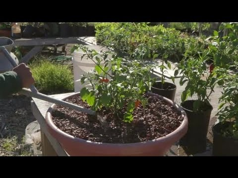 How to Water Bell Pepper Plants : Growing Peppers