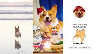 Funny Daily Chubby Corgi Dogs Cute Puppies 2019 Compilation 猫狗蠢萌合集 ep26
