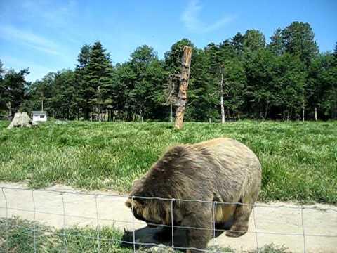 feeding a kodiak bear at the olympic game farm