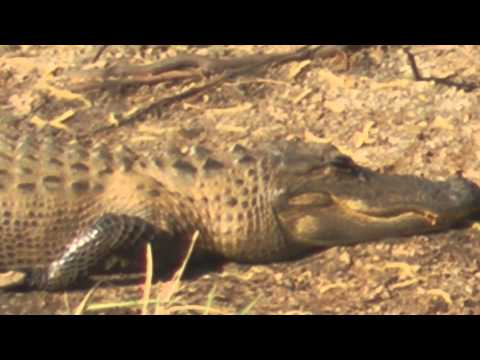 Free Alligator video of Savannah Wildlife Refuge by WillCFish Tips and Tricks.
