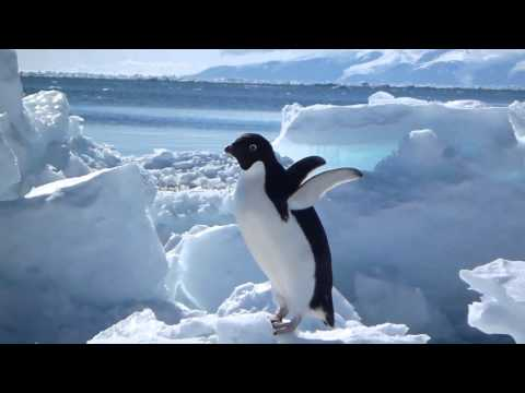 Cute Adelie Penguins on the Antarctic Sea Ice [Animals in HD]
