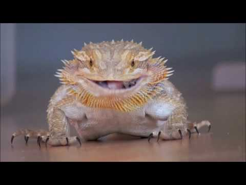 Fire and Ice Dragons - Bearded Dragon Breeders - Fire and ...