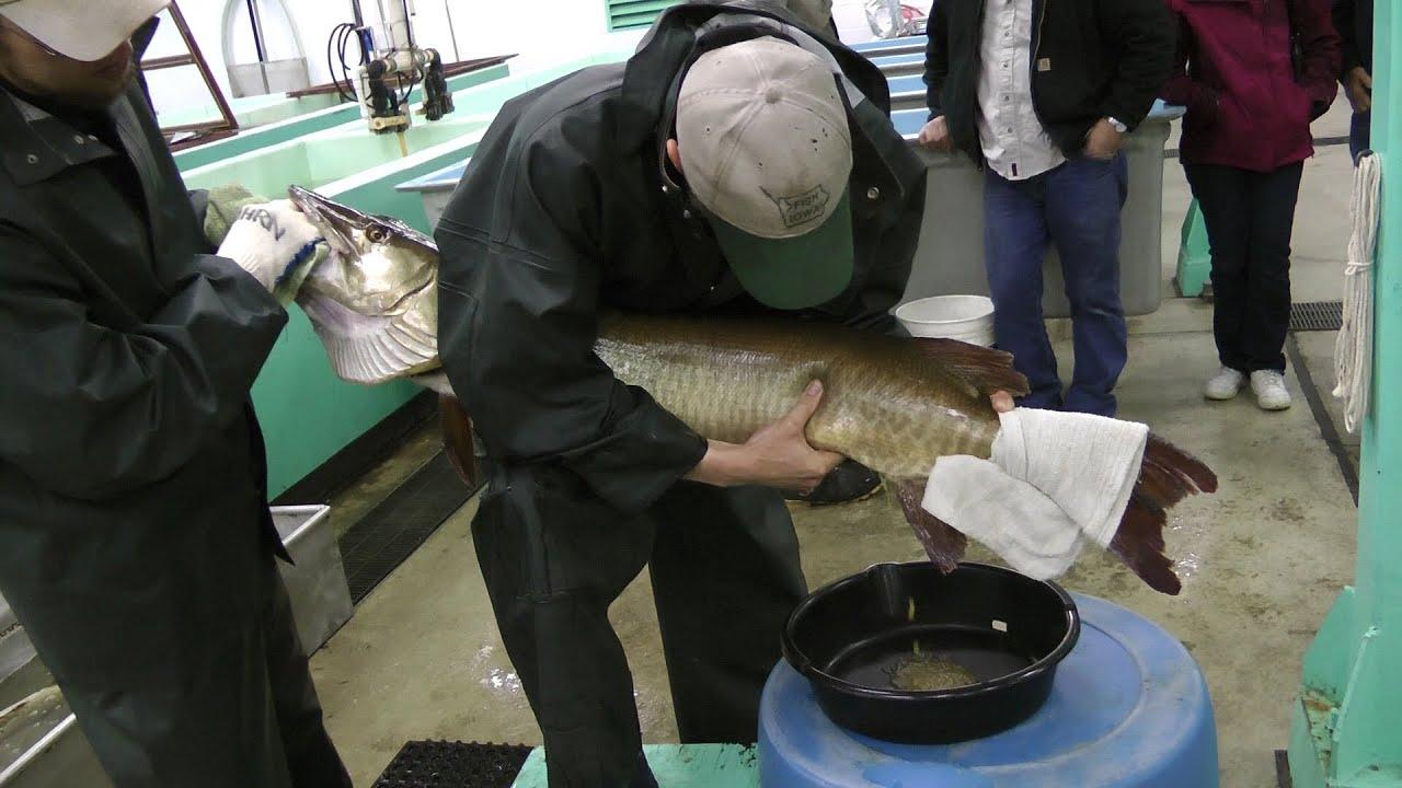 Best ever muskie egg fertilization at spirit lake iowa for Iowa fish hatcheries