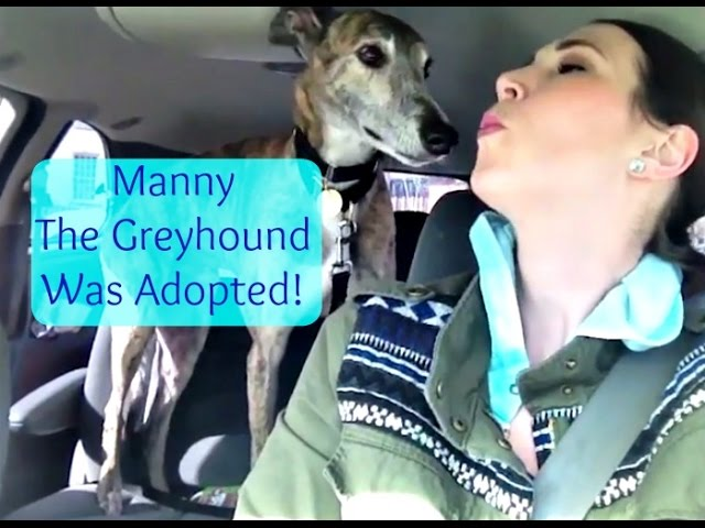 Manny The Greyhound Was Adopted | MamaKatTV