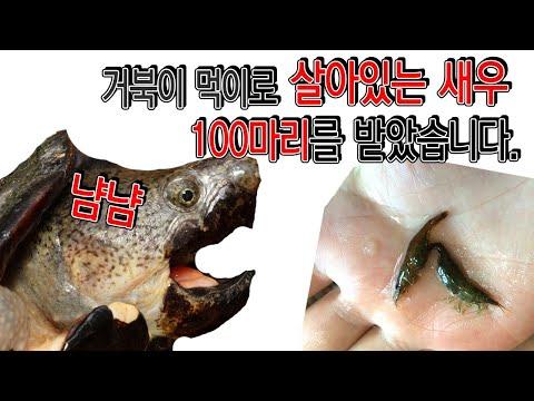 이런선물 받아봤나요? 거북이 먹이라고 살아있는 새우를 100마리나?