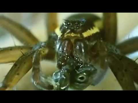 Big Spider eats Fish in an European Swamp (Educational)
