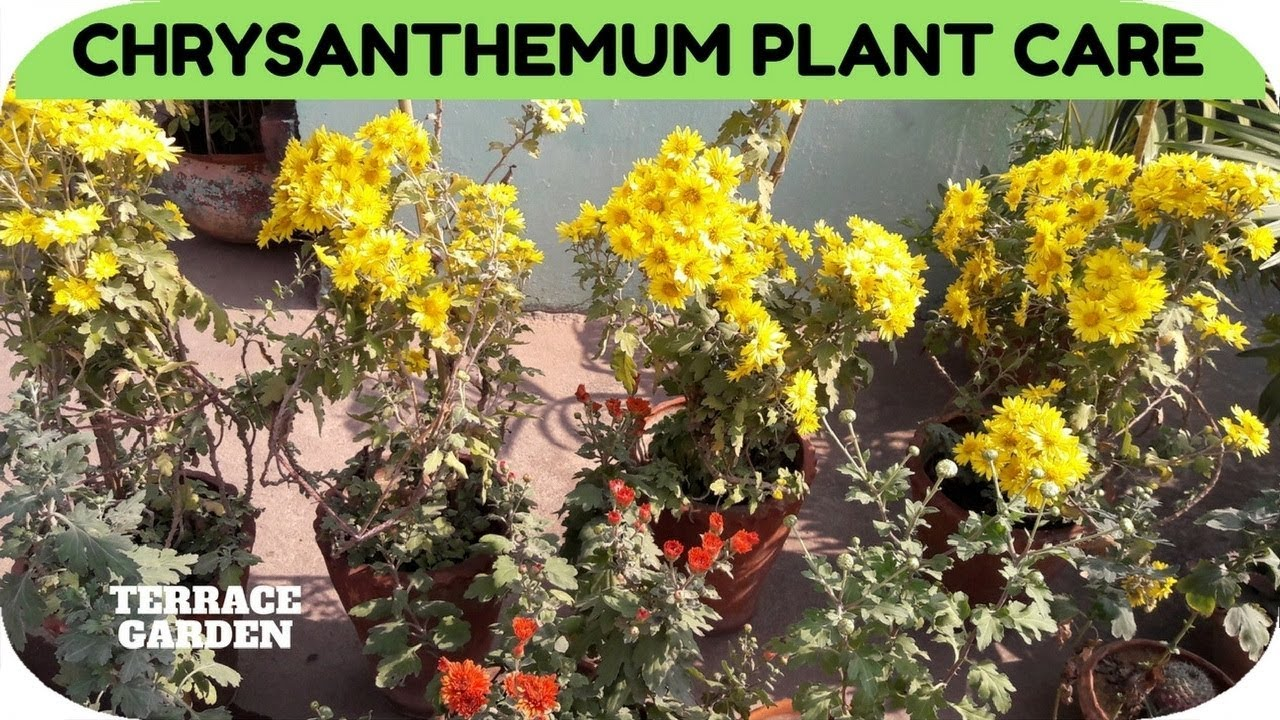 Chrysanthemum plant care
