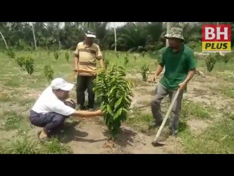 BHPLUS: Durian belanda punca guru bersara awal