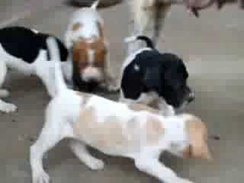 POINTER  PUPPIES