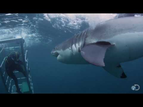 18-foot Shark Attacks Cage | Great White Serial Killer - Shark Week 2013 video