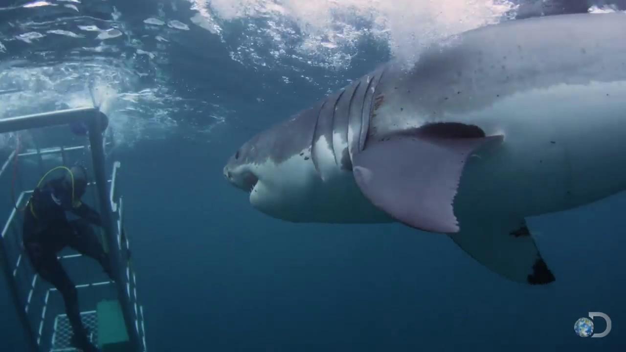 Killer Sharks Videos Killer Shark Week 2013