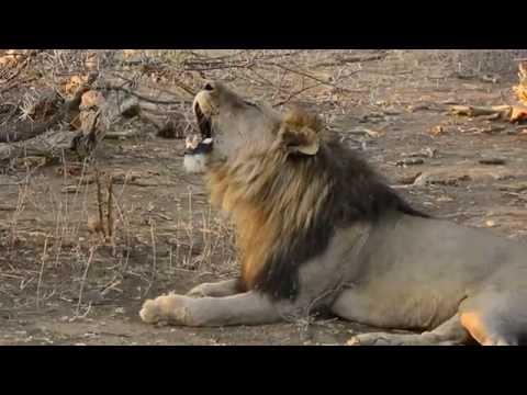 Lion Roaring.  Loud! video