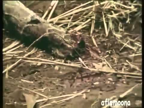 Man uses his Leg as Bait to Catch an Anaconda Must See