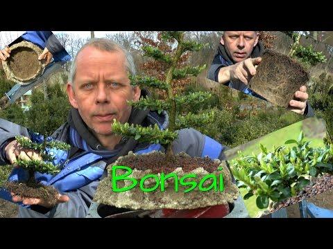 Bonsai Topfpflanze In Eine Schale Pflanzen