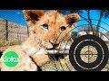 Löwen Schießen Für 20.000 Euro   Jagdtouristen In Südafrika | WDR Doku