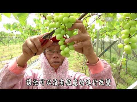 台綜-農夫與他的田-20160718 大村葡萄成熟時