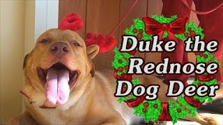 Duke The Rednose Dog Deer! - 25k subs Holiday special
