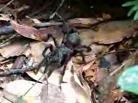 Giant Spider in the Peruvian Amazon