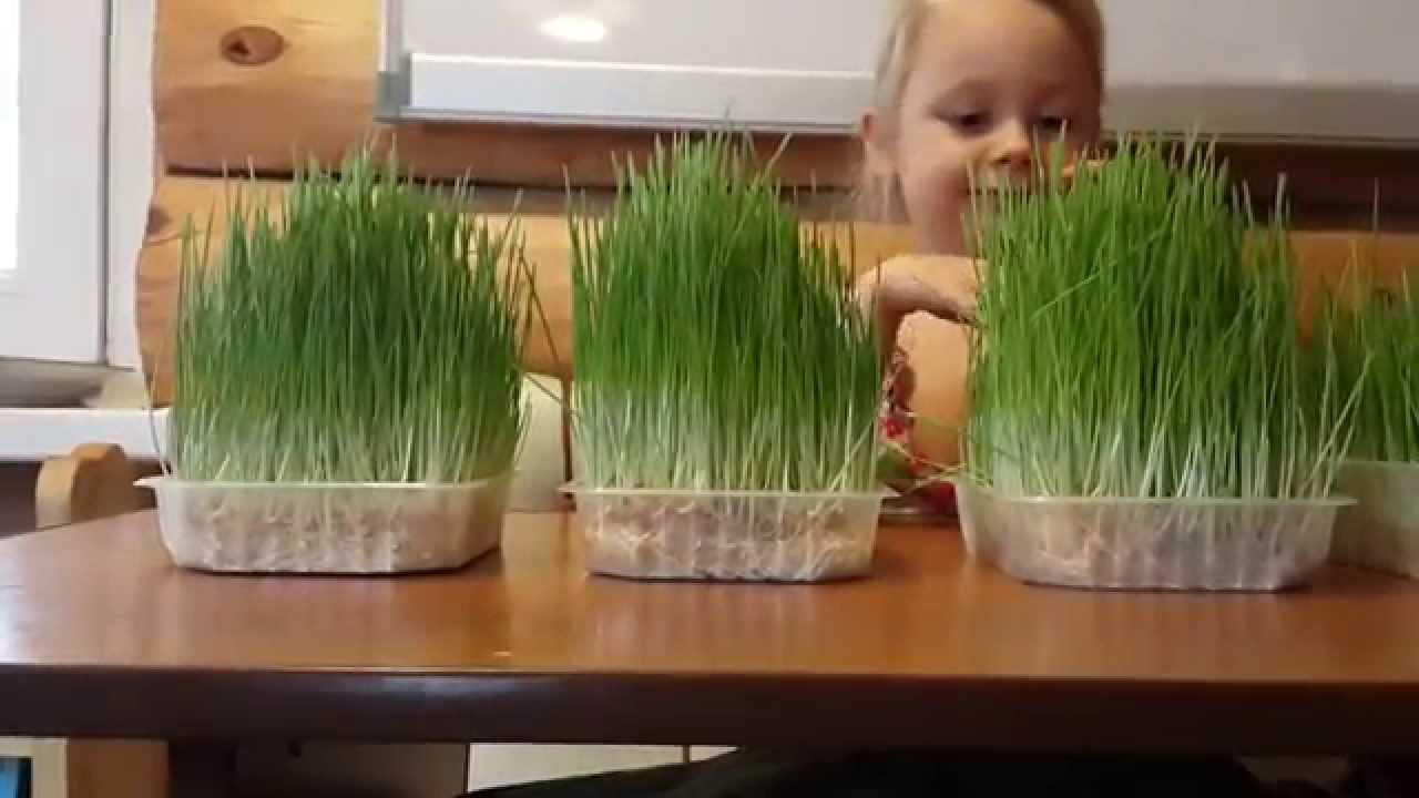 Как в домашних условиях вырастить зелень 939
