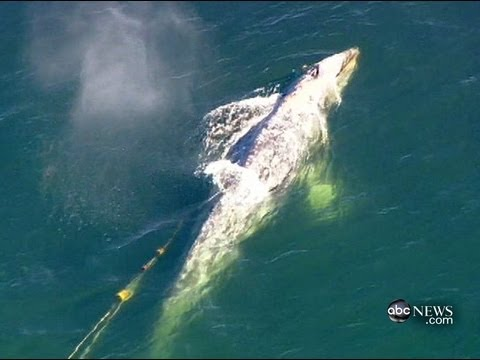 Gray Whale Rescue In California; Whale Gets Entangled in Fishing Line Off Coast of San Onofre