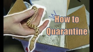 Unboxing, Sexing, & How to Quarantine Hognose Snakes