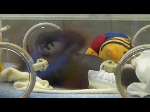 王子動物園 オランウータンのムム