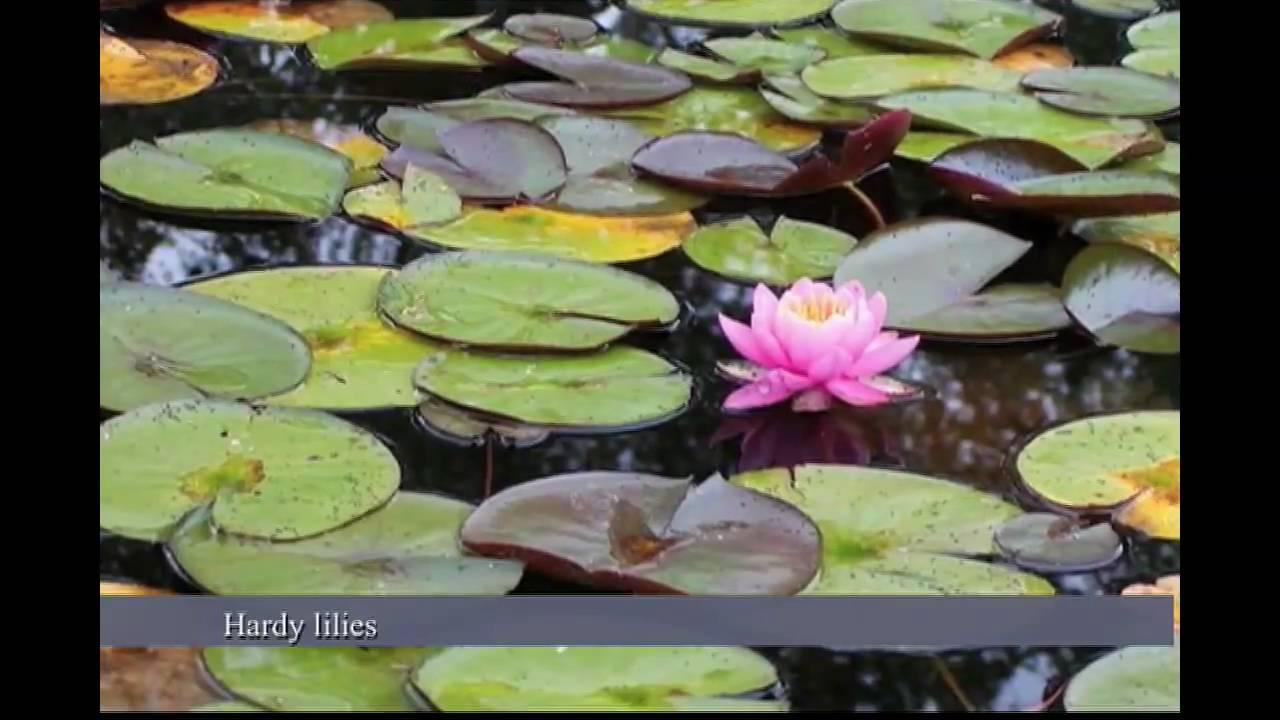 Water Lilies Vs Lotus Water Garden Plants Nymphaea Vs