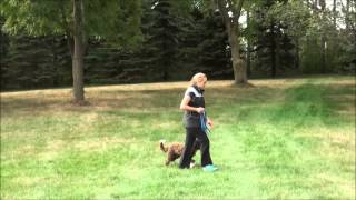 Louie (Australian Labradoodle) Boot Camp Dog Training Video