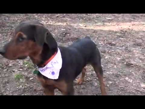 Airedale Terrier Rottweiler Mix