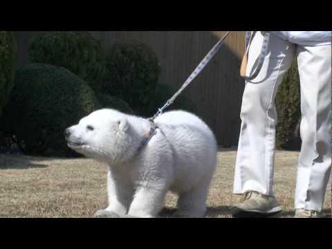 アドベンチャーワールド ホッキョクグマの赤ちゃん (2010/02/02)