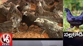 Special Story On Kadaknath Hen | Health Benefits of Black Chicken