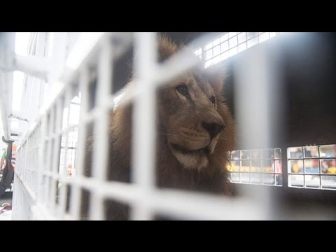 Plane carrying 33 rescued circus lions due to land in South Africa