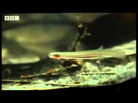 Kemaluan lelaki dimasuki ikan candiru semasa mandi sungai